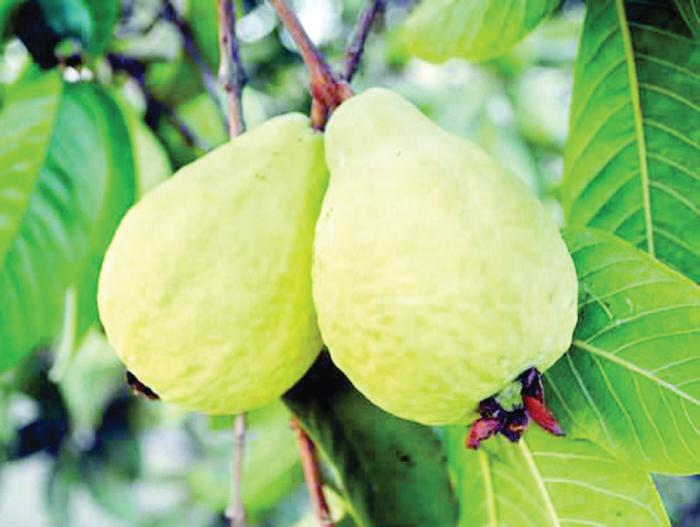 تفسير رؤية الجوافة في حلم الزوجة في المنام مجلة سهم